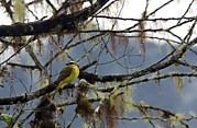 Flycatcher Photos - Golden-crowned Flycatcher by Bob Gibbons