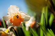 Daffodils Photographs Prints - Golden Daffodils  Print by Venura Herath