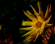 The Flower Photographer - Golden Dahlia by Glenn Franco Simmons