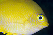 Osteichthyes Photos - Golden Damsel Close-up, Papua New by Steve Jones