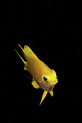 Damselfish Prints - Golden Damsel Fish Print by Mat Yie Photography