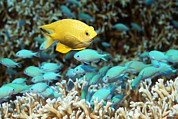 Reef Fish Posters - Golden Damselfish And Blue-green Chromis Poster by Georgette Douwma