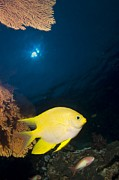 Damselfish Posters - Golden Damselfish Poster by Peter Scoones