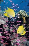 Damselfish Posters - Golden Damselfish With Anthias Poster by Georgette Douwma