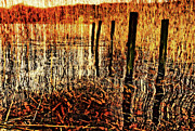 Reed Bed Prints - Golden Decay Print by Meirion Matthias