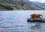 Golden Settings Pet Photography Photos - Golden Dock Diving by Kara Kincade