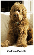 Pooch Framed Prints - Golden Doodle Framed Print by Madeline Ellis
