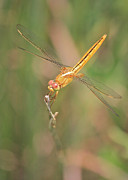 Yellow Dragonfly Posters - Golden Dragonfly in Green Marsh Poster by Carol Groenen