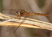 Dragonflies Photos - Golden Dragonfly on Golden Reed by Carol Groenen