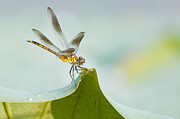 Yellow Dragonfly Posters - Golden Dragonfly on Water Lily Leaf Poster by Bonnie Barry
