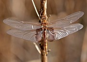 Tans Prints - Golden Dragonfly Wings Print by Carol Groenen