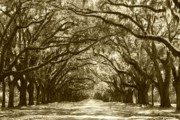 Live Oaks Photos - Golden Dream World by Carol Groenen