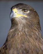 Falcon Art - Golden Eagle Aquila Chrysaetos by John Short