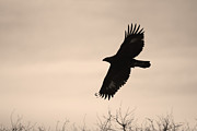 Eagles In Flight Prints - Golden Eagle Print by Ernie Echols