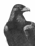 Eagles Drawings - Golden Eagle by Lawrence Tripoli