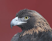 Golden Eagle Photos - Golden Eagle Portrait by Ernie Echols