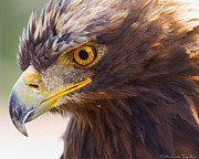 Michaela Sagatova Posters - Golden Eagle Portrait Poster by Michaela Sagatova