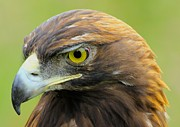 Golden Eagle Framed Prints - Golden Eagle Framed Print by Shane Bechler