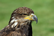 Golden Eagle Photos - Golden Eagle by Teresa Zieba