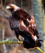 Golden Eagle Photos - Golden Eagle by Terry Elniski