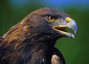 Golden Eagle Print by Tony Beck