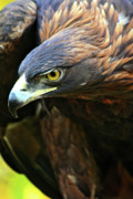 Golden Eagle Framed Prints - Golden Eye Framed Print by Scott Mahon