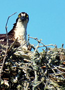 Osprey Tapestries Textiles Acrylic Prints - Golden Eyes Acrylic Print by Karen Wiles