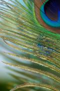 Iridescent Prints - Golden Feather Print by Lisa Knechtel