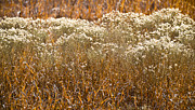 Grassy Field Posters - Golden Field of Winter Poster by Carolyn Marshall