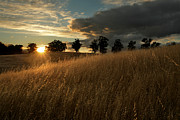 Palo Alto Prints - Golden Fields at Sunset Print by Matt Tilghman