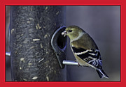 Canary Yellow Prints - Golden Finch at the feeder Print by LeeAnn McLaneGoetz McLaneGoetzStudioLLCcom