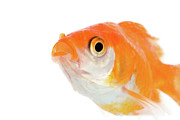 Goldfish Framed Prints - Golden Fish Framed Print by Buy It