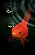 Sea Life Posters - Golden Fish In Water Poster by JodyTroodPhotography