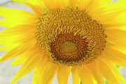 Fauna Originals - Golden Flower by Arthur Bohlmann