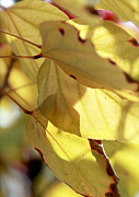 Leaf Detail Framed Prints - Golden Foliage Framed Print by Glennis Siverson