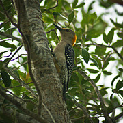 Jake Johnson - Golden Fronted Woodpecker