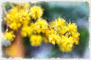 Wattle Framed Prints - Golden glow. Framed Print by Clare Bambers