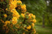 Rhodies Prints - Golden Glow Print by Mike Reid