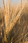 Cindy Singleton Prints - Golden Grain Print by Cindy Singleton