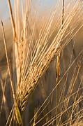 Golden Grain Print by Cindy Singleton