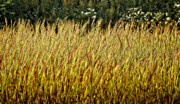 Upright Prints - Golden Grasses Print by Meirion Matthias