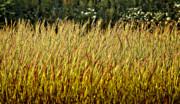 Golden Grasses Print by Meirion Matthias