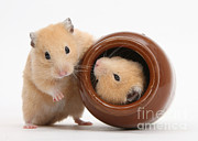 Syrian Hamster Photos - Golden Hamsters by Mark Taylor