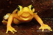 Critically Endangered Animal Prints - Golden Harlequin Frog Print by Dante Fenolio