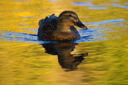 Waterfowl Prints - Golden Hen Print by Mike  Dawson