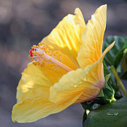 Backlit Prints - Golden Hibiscus - Early Morning Print by Suzanne Gaff