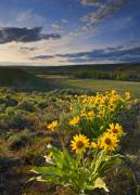 Balsamroot Framed Prints - Golden Hills Framed Print by Mike  Dawson