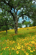 Hill Country Prints - Golden Hillside Print by Robert Anschutz