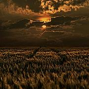 Cornfield Prints - Golden Hour Print by Joachim G Pinkawa