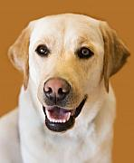 Happy Labrador Prints - Golden Lab Print by Marilyn Hunt